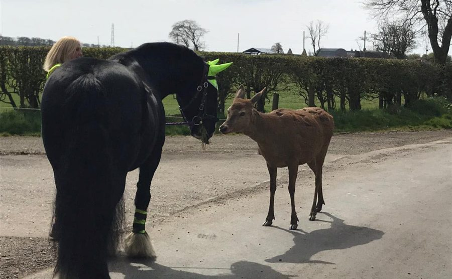 Oh deer! Unusual guest who 'seems to like horses' tags along for a three-mile hack