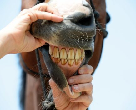 How to tell a horse's age by looking at his teeth
