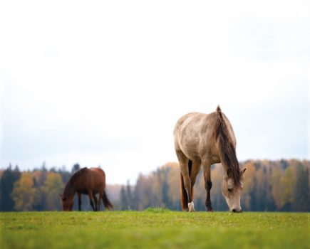 Study identifies high prevalence of equine metabolic syndrome in native ponies and cobs, plus five risk factors