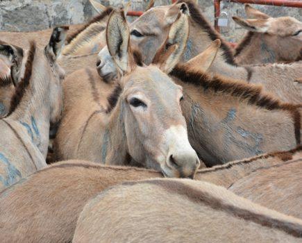 'Massive blow': slaughtering donkeys for their skin will resume in Kenya after courts overturn ban