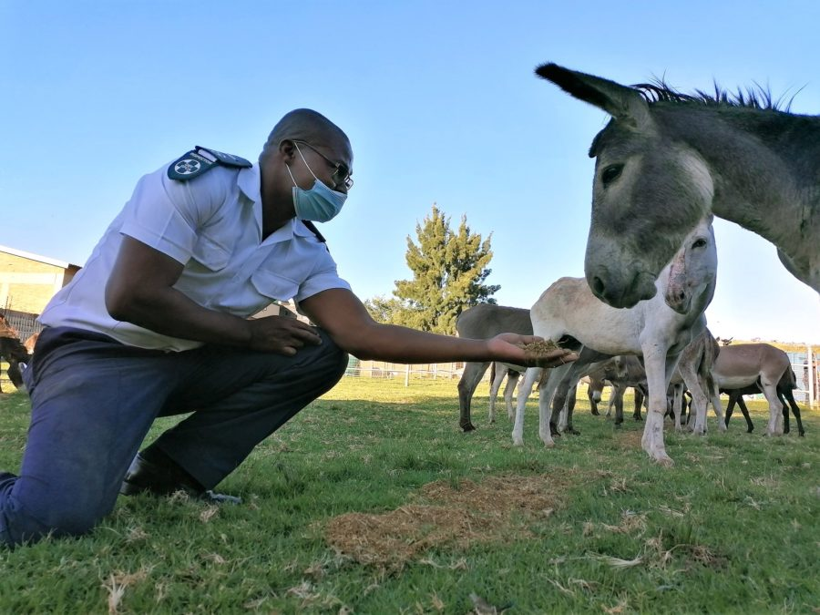 Over 100 donkeys saved from slaughter for the Chinese skin trade after police intercept truck convoy