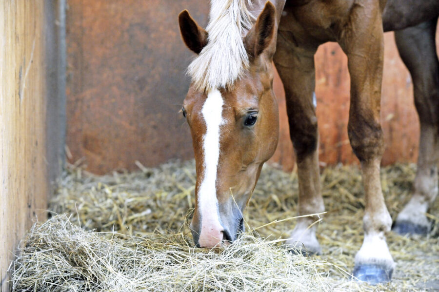 New forage calculator could play vital role in managing a horse's weight
