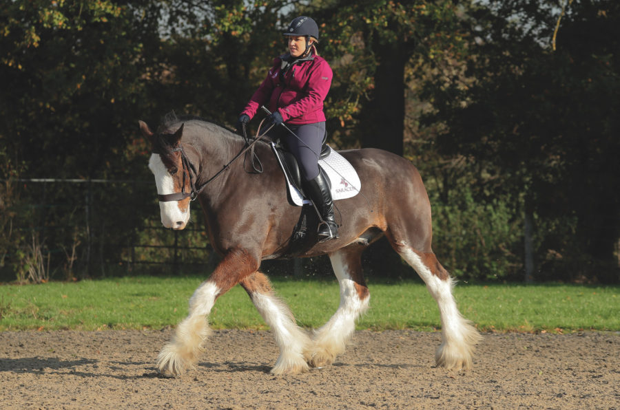 'Not just a cart horse': how heavy breeds can earn top marks in the dressage arena too