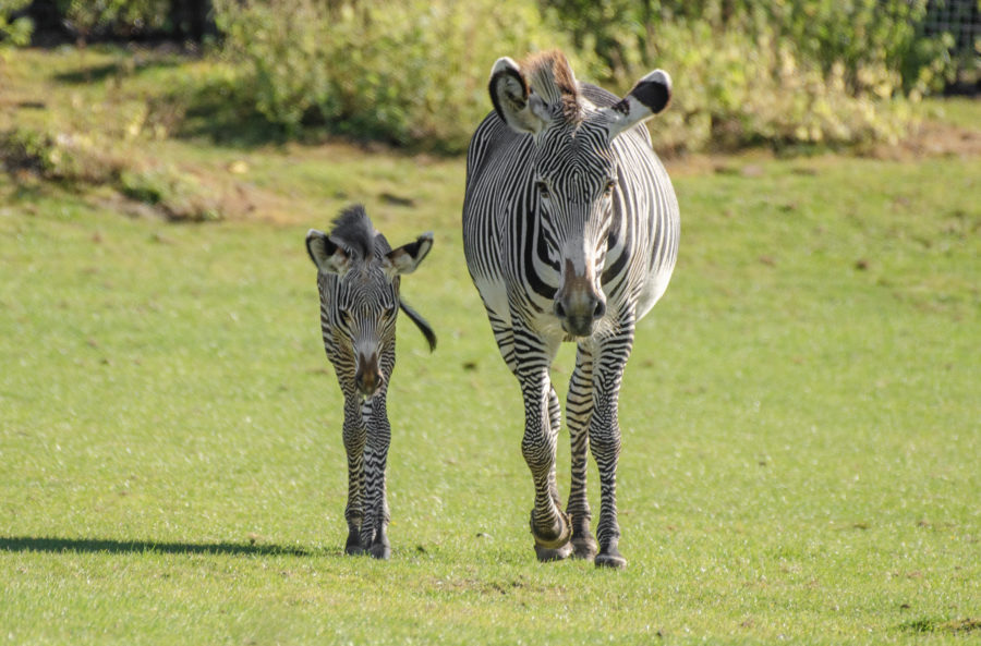 Stunned visitors watch as rare zebra foal is born during the day at Hampshire zoo