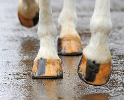 What Happens When a Horse's Foot Abscess Becomes Serious