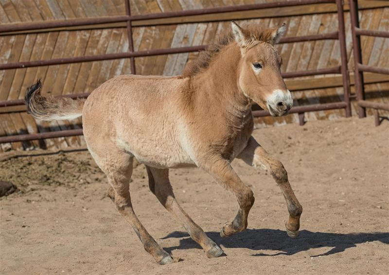 Why a cloned foal born at a USA zoo is key to the survival of his endangered breed