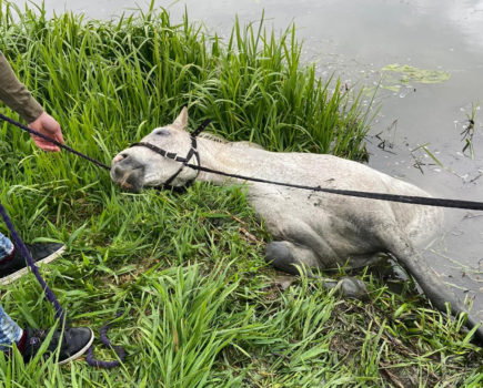 'I thought she was dead': mare falls into river after trespassers leave field gate open