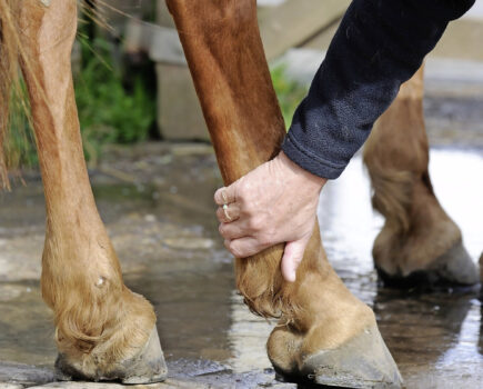 Shivers: the Condition That Makes Your Horse's Hindlegs Twitch