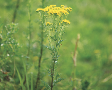 Take action now: ragwort levels are dangerously high, warns the British Horse Society