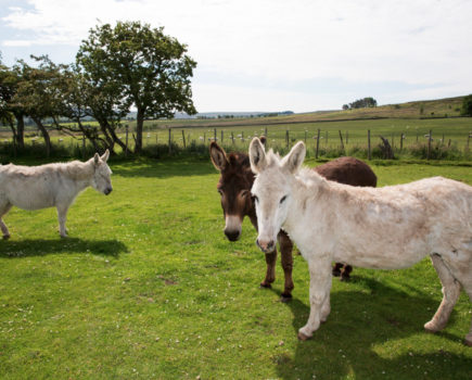 Three donkeys struggling to walk on hooves over 10cm too long are rescued