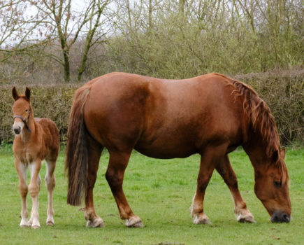 Suffolk Punch foal is welcome boost for endangered horse breed