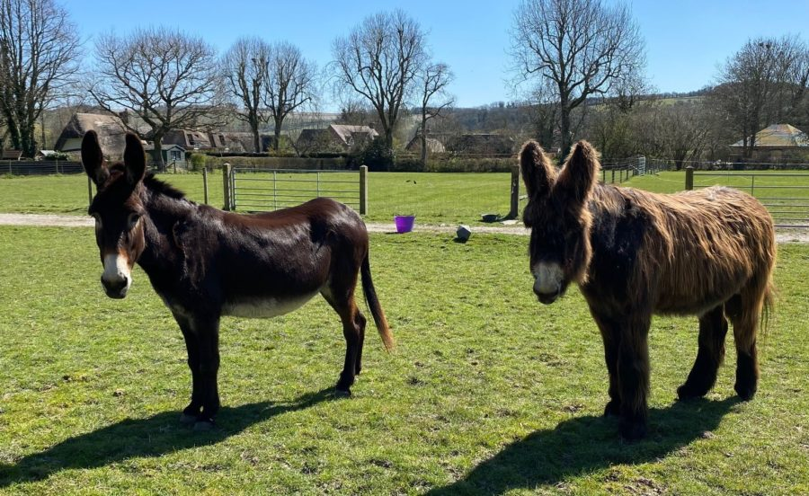 Distressed Poitou donkey saved by arrival of a new companion