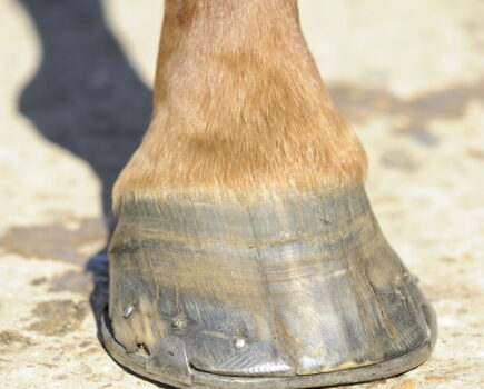 Why Does My Horse Have a Split in His Hoof?