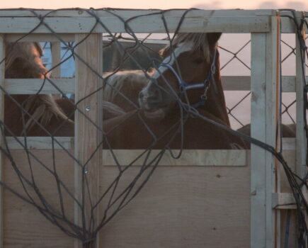Calls to End Live Export of Horses to Japan for Their Meat