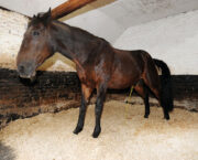 Absorbency is most important factor when choosing bedding for a horse, study finds