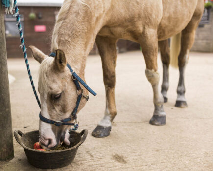 Is Your Veteran Losing Weight? These Golden Rules From an Equine Nutritionist Will Help Get Him Back on Track